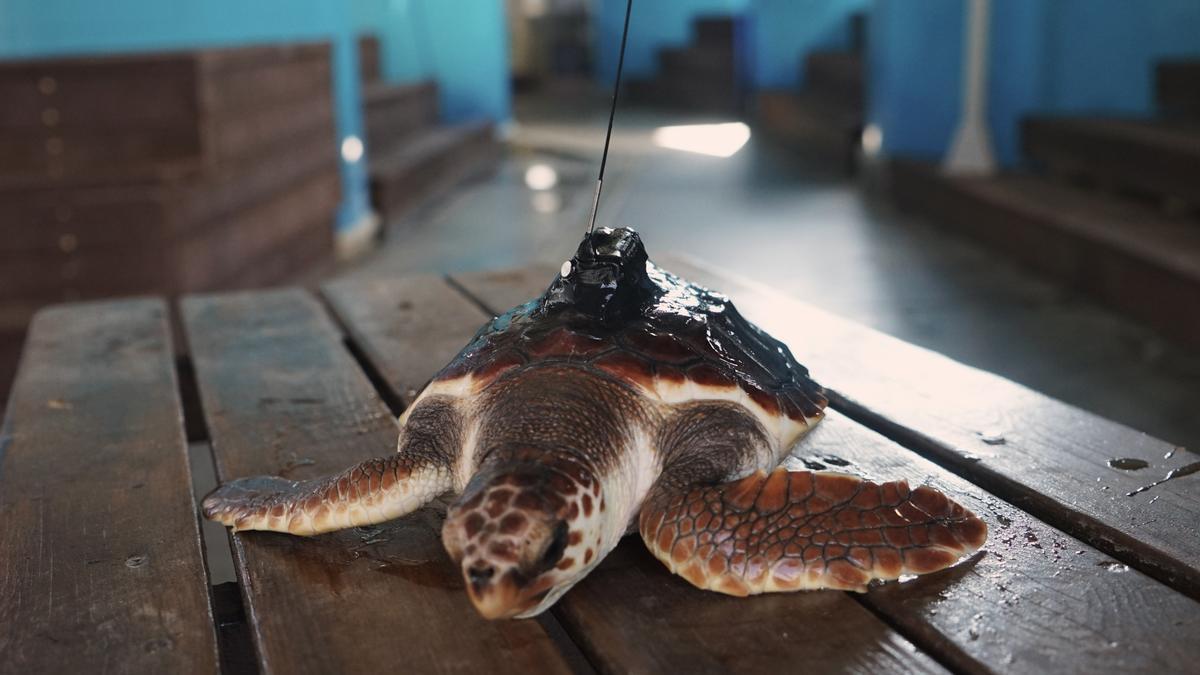 Las doce tortugas marinas del nido de Cullera vuelven al mar