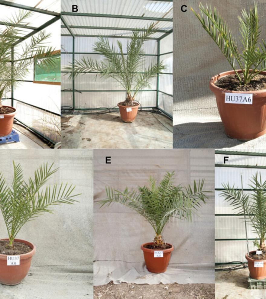 Nacen palmeras de semillas que tenían 2.000 años de antigüedad