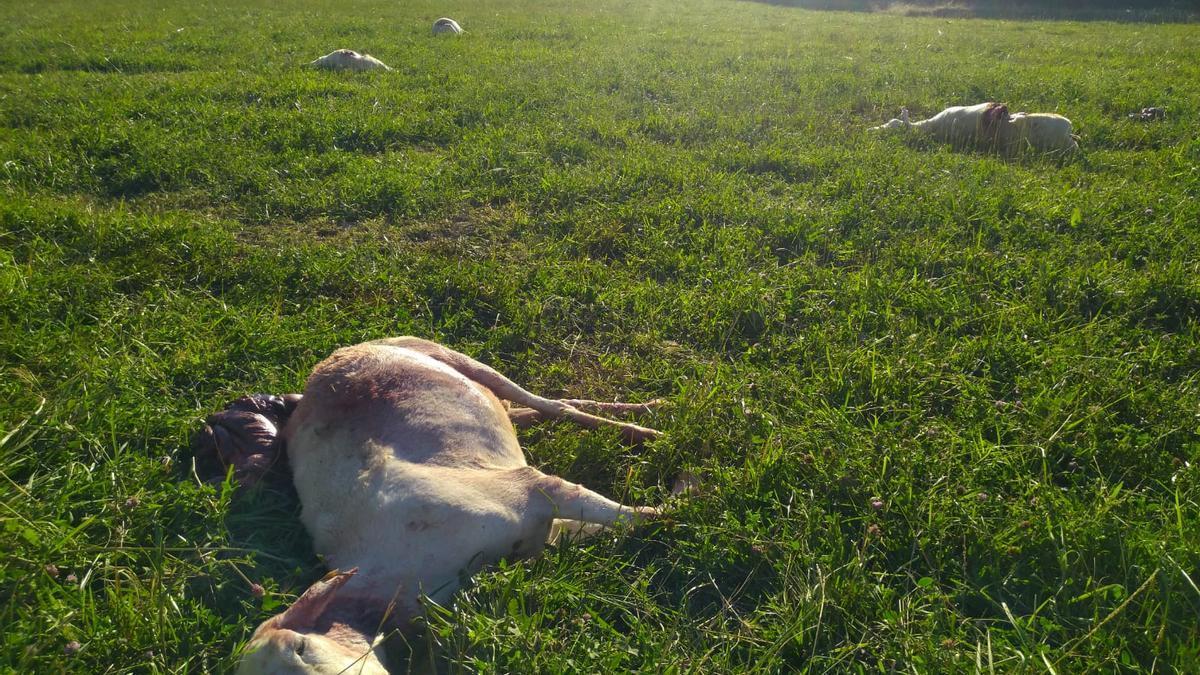 Las ovejas fallecidas en Torralba de Aragón, el pasado jueves por la mañana.