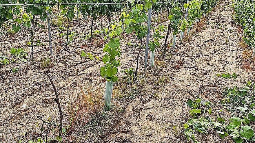 Preocupación en Beade por el ataque del jabalí a los viñedos
