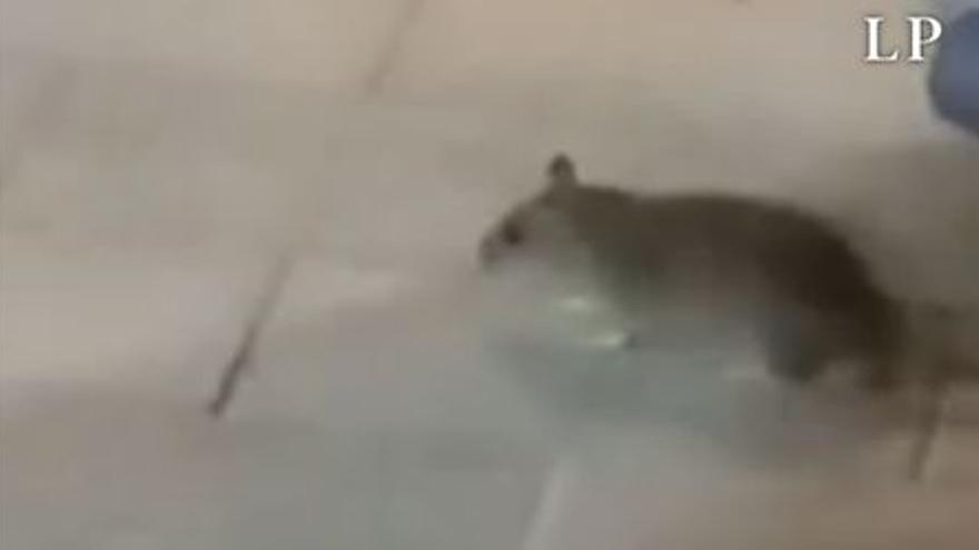 El Ayuntamiento vuelve a actuar en plaza de España por la presencia de ratas