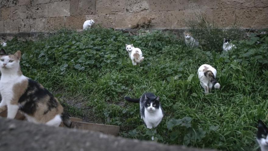 Marratxí destina 15.000 euros a la esterilización de las colonias felinas