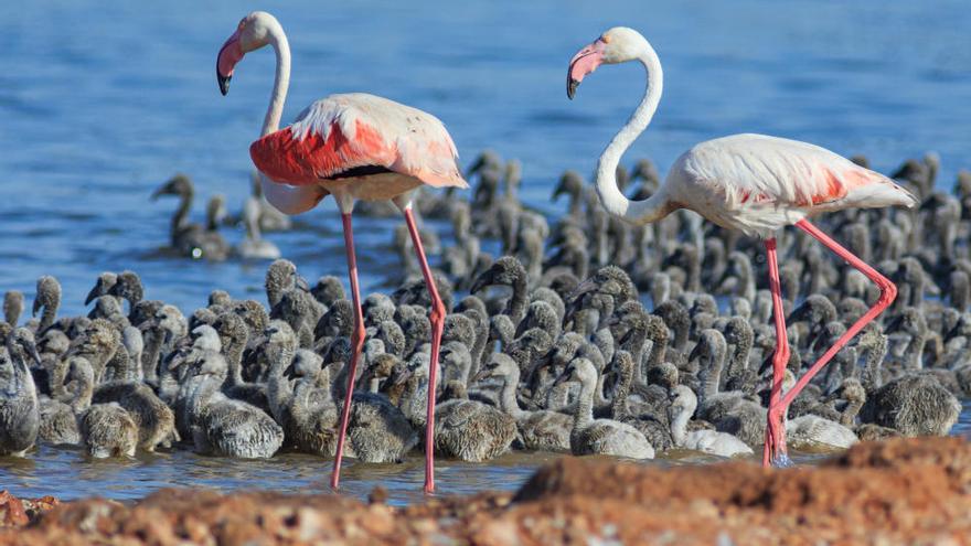 500 flamencos intentan anidar de nuevo en la laguna rosa