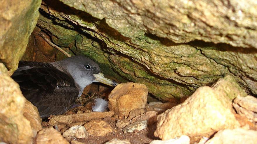 Al menos diez parejas de 'virot petit' han hecho nido en es Vedranell