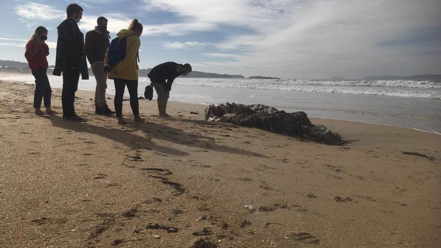 El mar deposita en A Lanzada los restos de una gran ballena muerta en el Atlántico