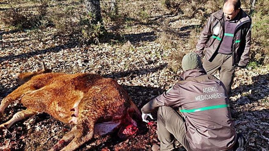 Los agentes medioambientales observan el cadáver de la novilla atacada por el lobo en Matellanes.