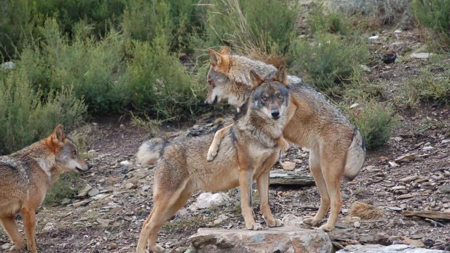 Lobos ibéricos.