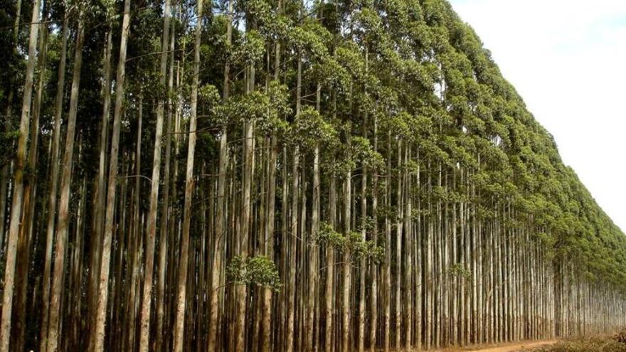 Galicia frena las plantaciones de eucaliptus, el 'árbol-gasolina'
