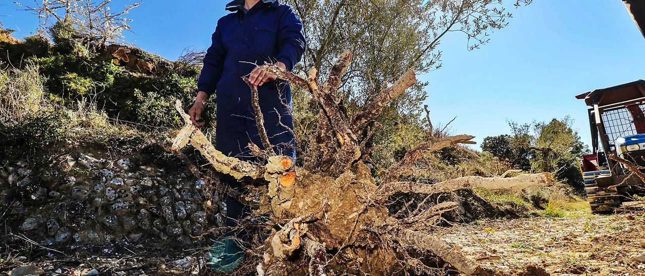 Un agricultor de Fageca en un campo de almendros arrancados como consecuencia del plan de erradicación de la xylella.
