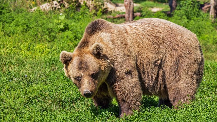Los osos que viven en los Pirineos sobreviven como pueden