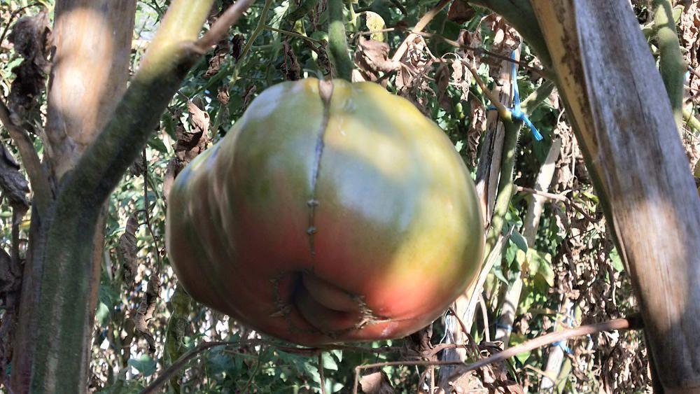 Un tomàquet de més de mig quilo. És de la varietat de Barbastre (Osca).