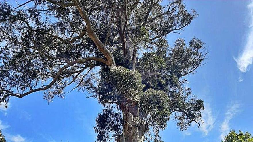 El BNG de Abegondo pide catalogar dos árboles