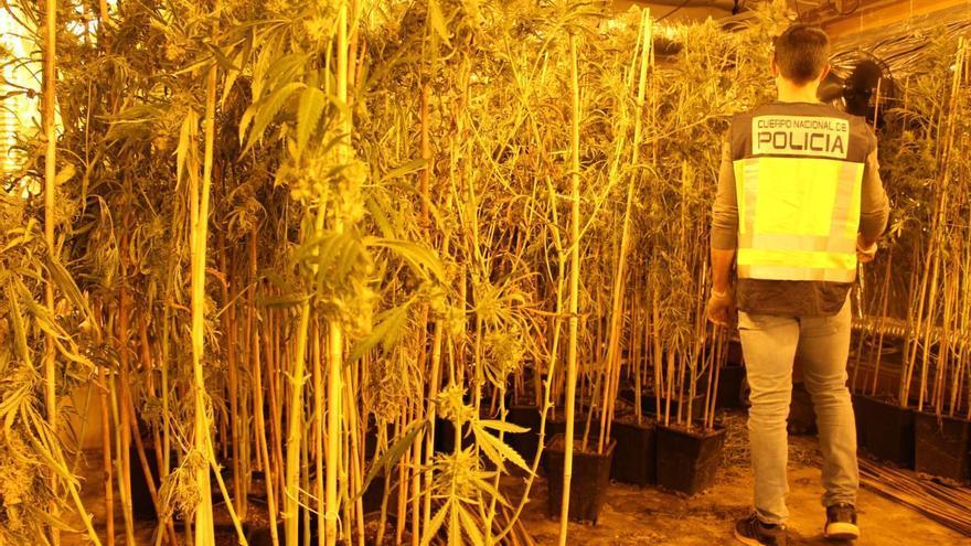 La Policía desmantela una plantación de marihuana en una nave de Quart con 1.500 plantas