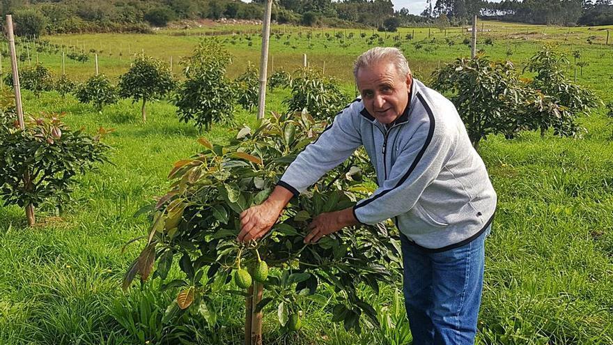 El cultivo de aguacate se extiende y afianza en la franja costera asturiana