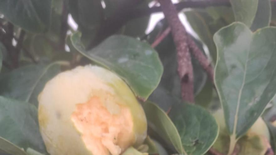 El granizo deja pérdidas del 75 % en la cosecha de aceitunas en Enguera