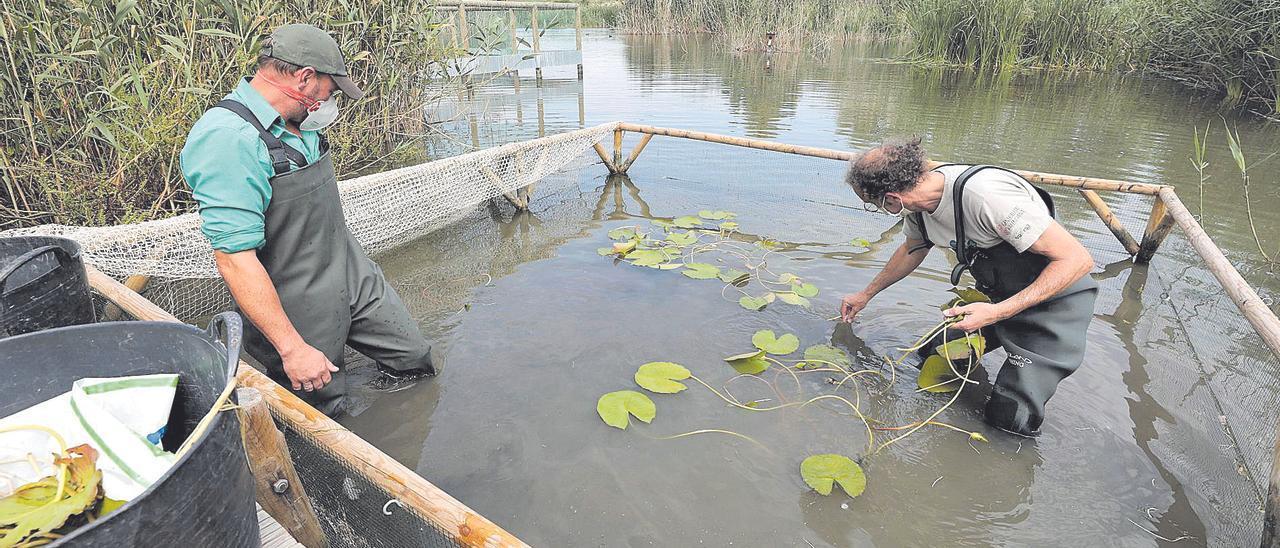 Técnicos medioambientales enraizando los nenúfares blancos en la jaula habilitada en una de las charcas.