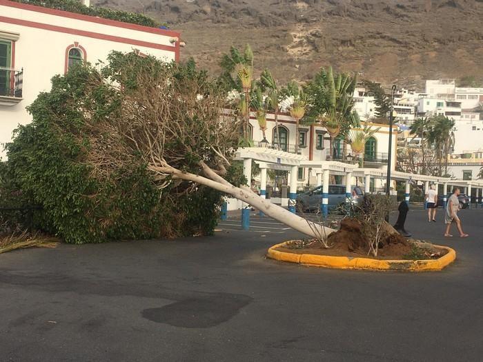 Árbol caído en Mogán por el viento.