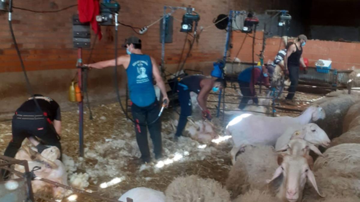 Una cuadrilla esquilando las ovejas de una explotación de Friera de Valverde. / E .P.