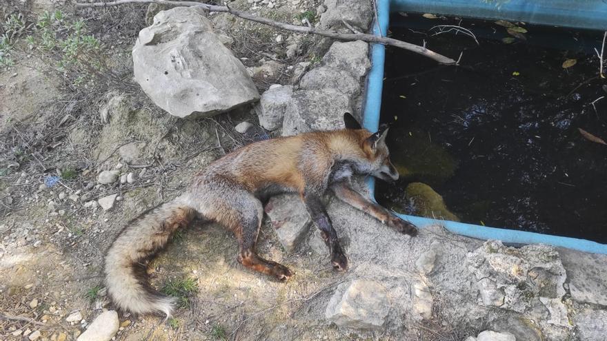 El Seprona investiga si se ha envenenado a zorros en Escalona