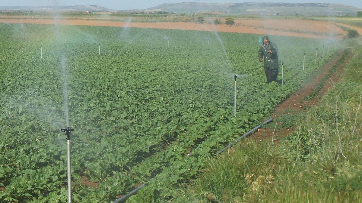 Un agricultor riega su parcela cultivada en el municipio de Toro
