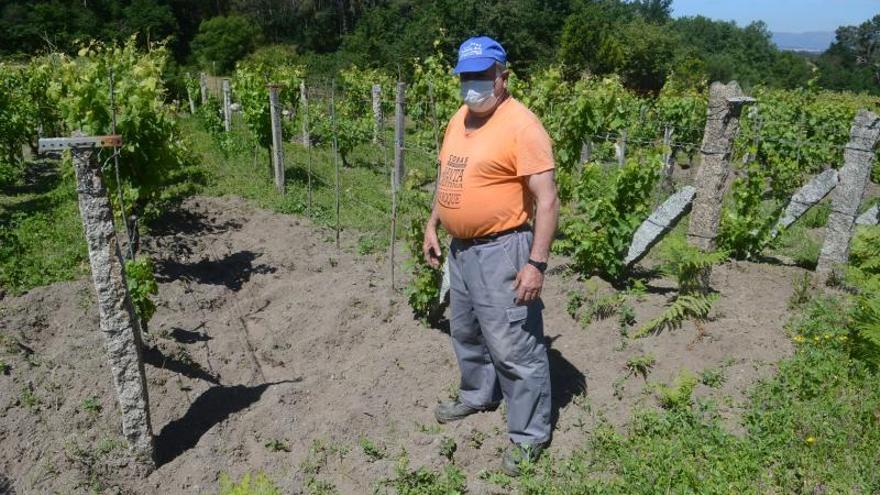 Tercer ataque de jabalíes al viñedo de un vecino de Cobas que ya solo conserva 60 cepas