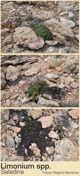 Limonium dañado por los montoncidos de piedras.
