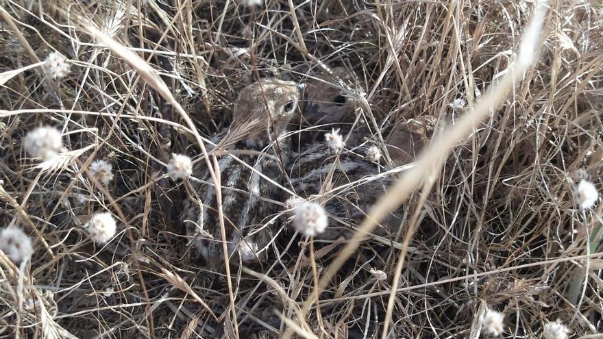 5 parelles de camallongues niuen en la desembocadura del Millars