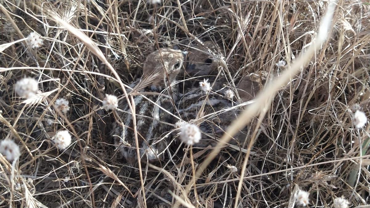 Els polls de camallongues han aparegut a les llacunes artificials del Paisatge Protegit de la Desembocadura del Millars.