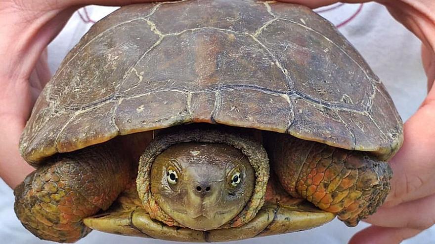 Constatan el aumento de las colonias de tortugas autóctonas en el Canyoles