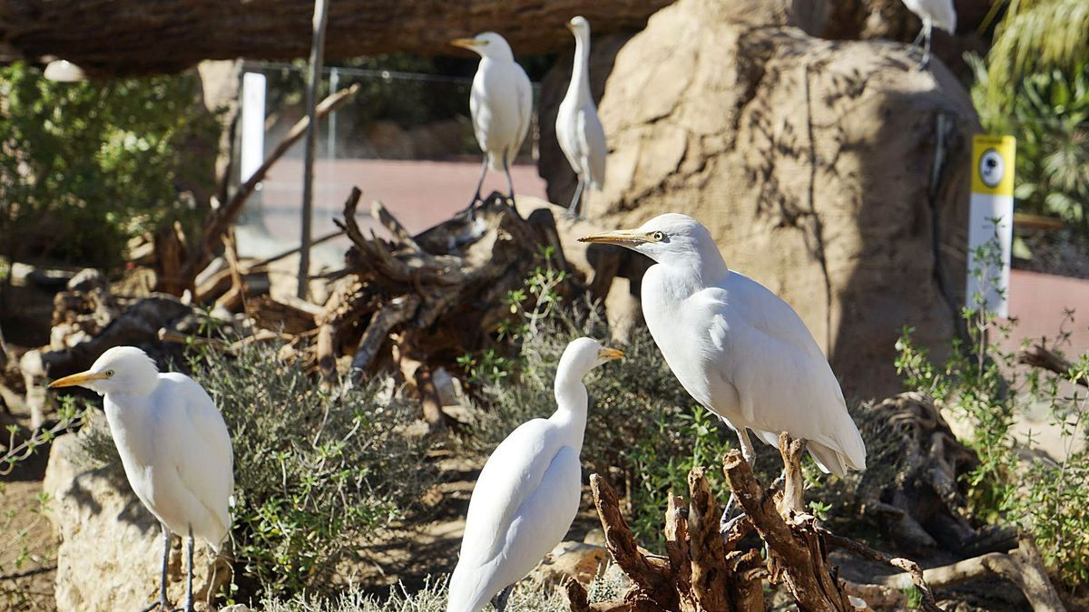 Les garses són una de les espècies d'ocells que estan  a l'Oceanogràfic. LEVANTE-EMV | LEVANTE-EMV