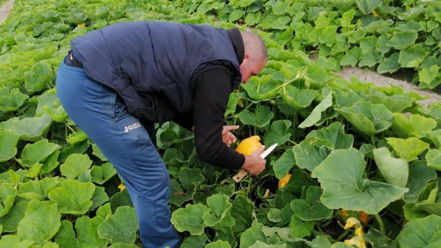 El cultivo de la calabaza se multiplica en Cullera con cinco variedades