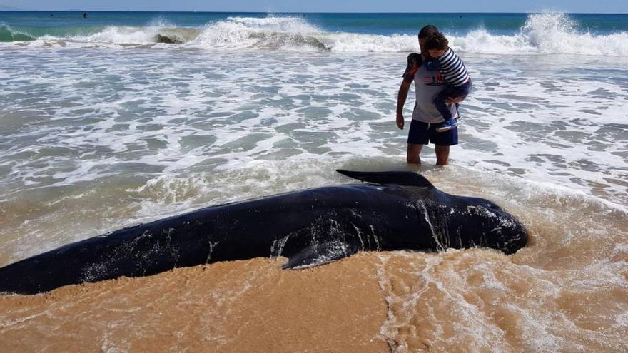 Una ballena piloto aparece varada en la playa de Elx