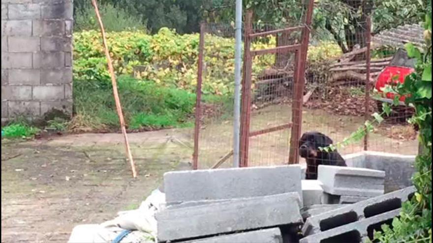 El perro que atacó a la anciana de Mos, un pitbull que pertenece a su hijo