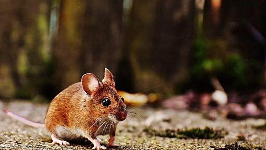 La personalitat i la capacitat de decisió dels ratolins de camp