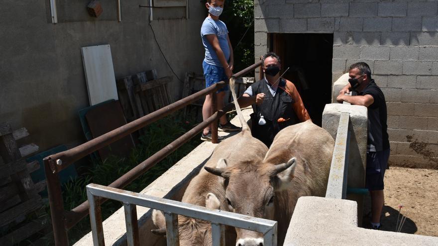 VÍDEO | Semen de un toro de Japón para 20 vacas de la Todolella