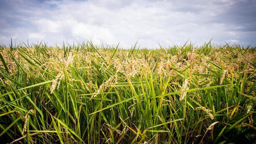 València solo produce el 17 % del arroz español