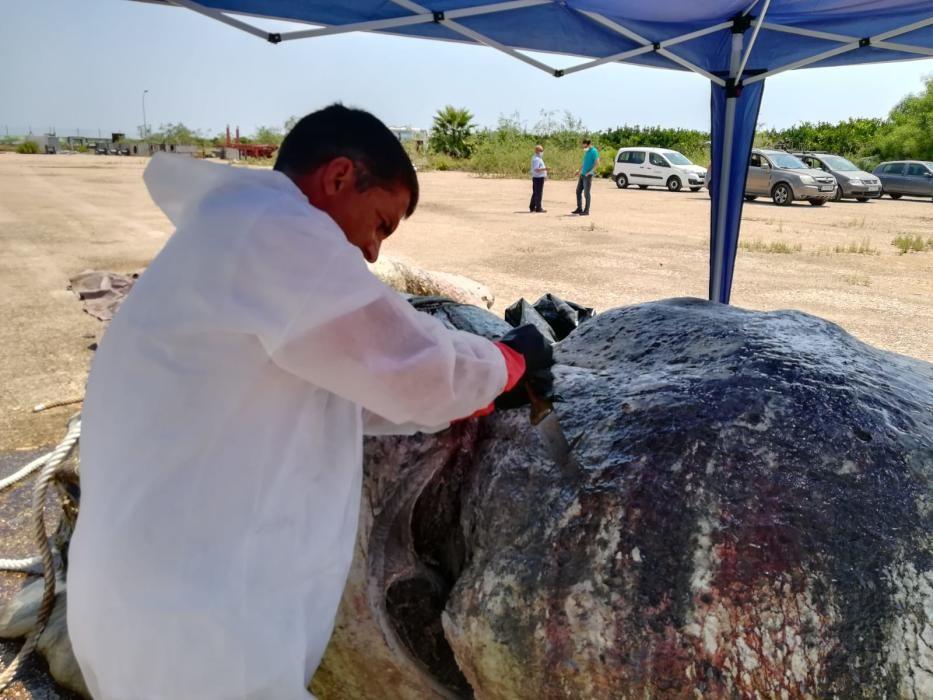 Tareas de retirada y conservación del esqueleto de la cabeza del cachalote encallado en Torrevieja