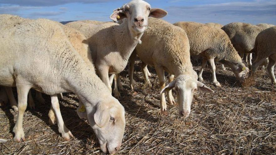 Un brote de brucelosis en la provincia de Teruel obliga a sacrificar casi 4.000 ovejas