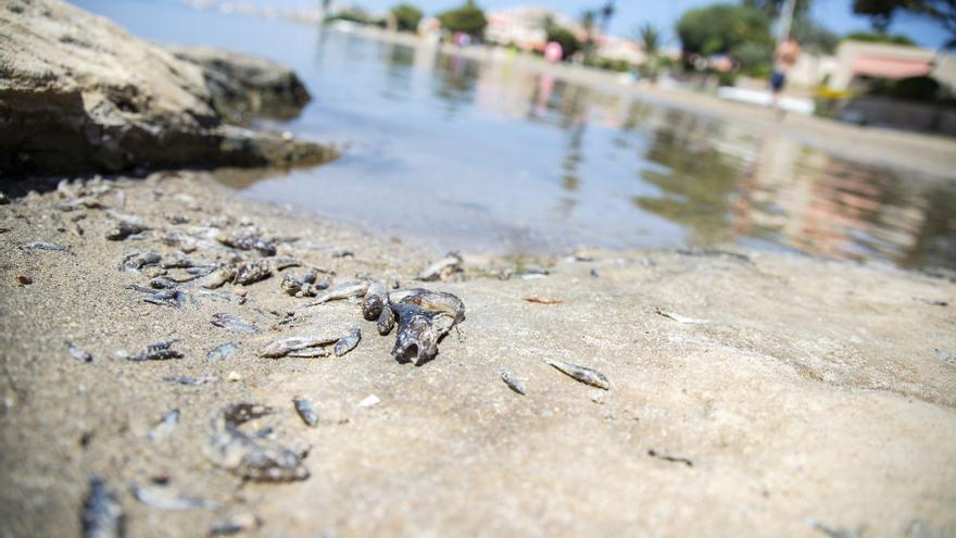 Más peces muertos aparecen en varias playas de La Manga