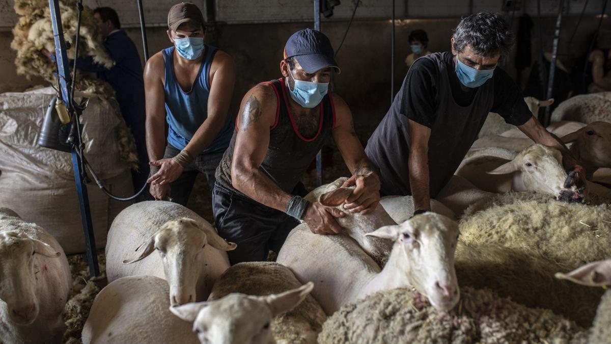 Esquiladores trabajando en la provincia la pasada campaña