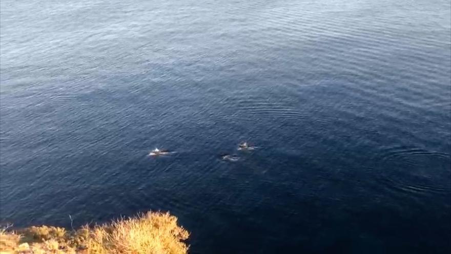 Una familia de delfines se deja ver en Ibiza