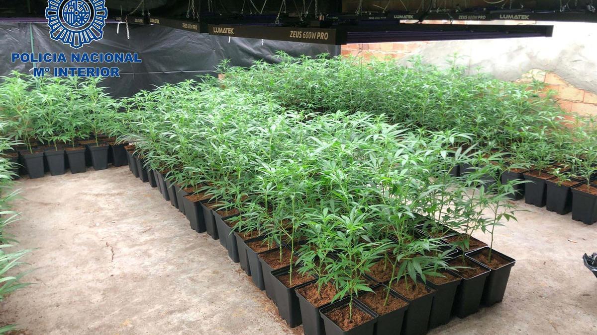 Plantación de marihuana desmantelada por la policía nacional.