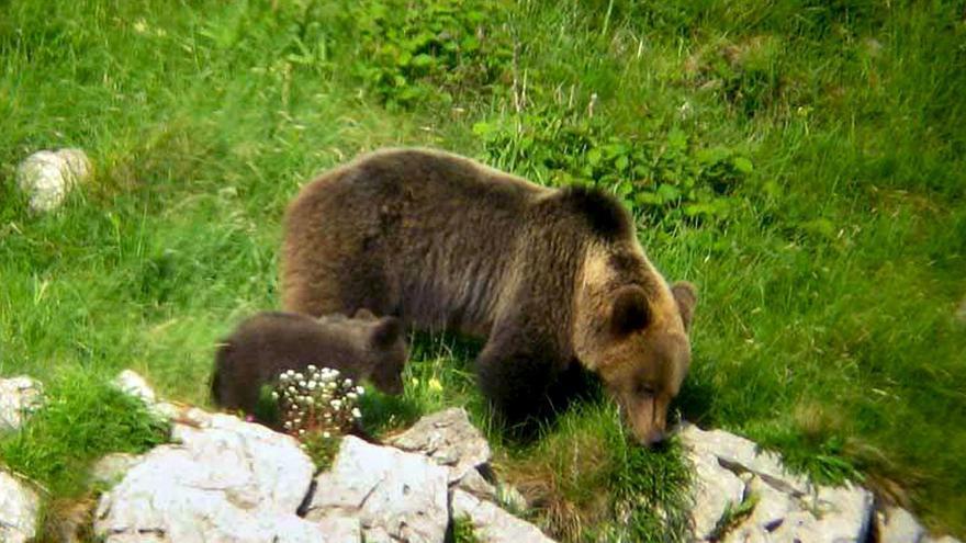 Activan un teléfono para alertar de la presencia de osos en entornos urbanos