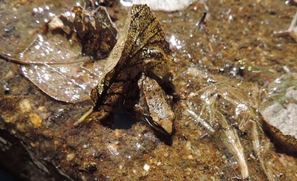 La rana patilarga, técnicamente denominada rana iberica.