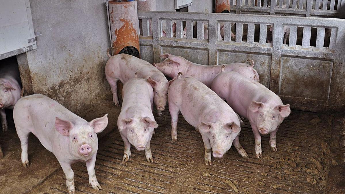 Granja de cerdos: seis cabezas de porcino en una explotación en Peñarroya de Tastavins.   ÁNGEL DE CASTRO