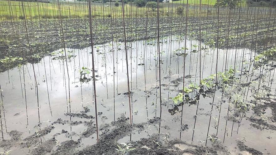 La incesante lluvia se lleva por delante las plantaciones de faba en toda Asturias