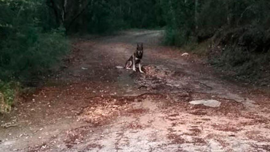 Buscan a un perro lobo que sigue huido en Puigpunyent
