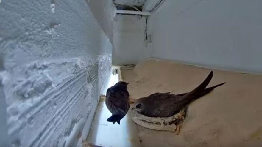 En directo: una familia de vencejos en su nido de Jerez