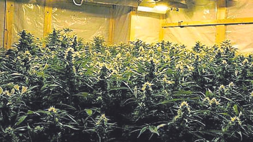 Detenido un vecino de O Saviñao (Lugo) con 260 plantas de marihuana en una finca