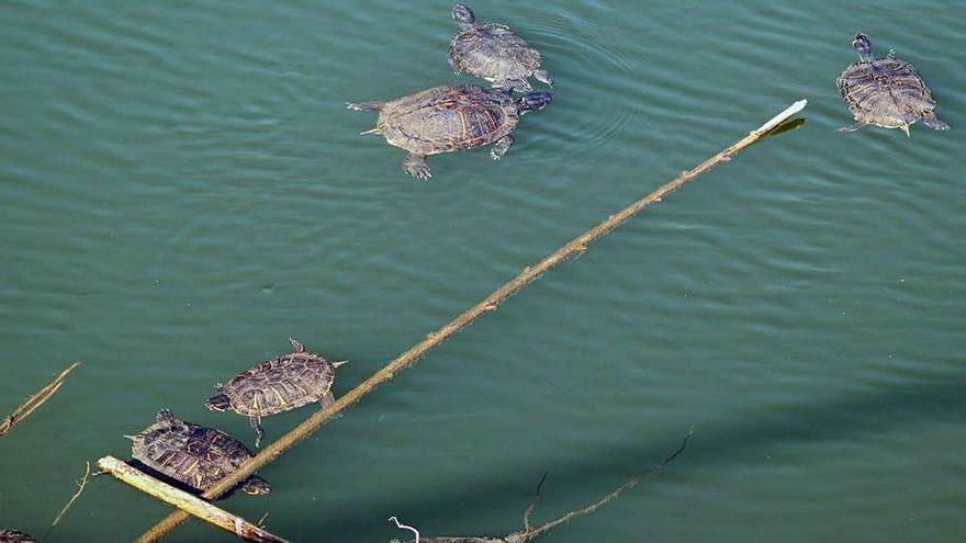 Una bassa de Mont-ras, nova víctima de la invasió de les tortugues de Florida